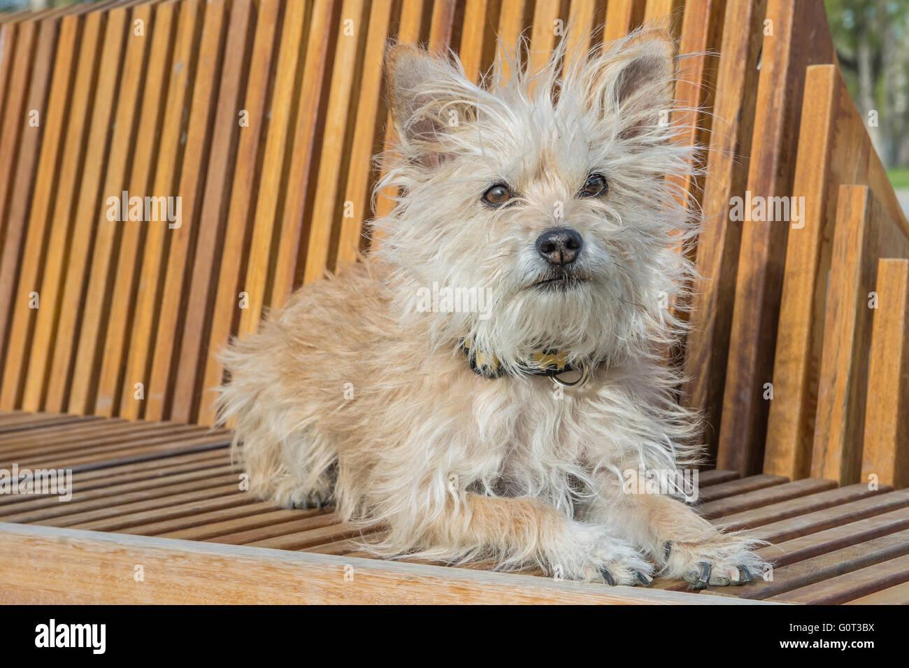 Little White Dog Portrait Poodle Chihuahua Schnauzer Mix Mixed