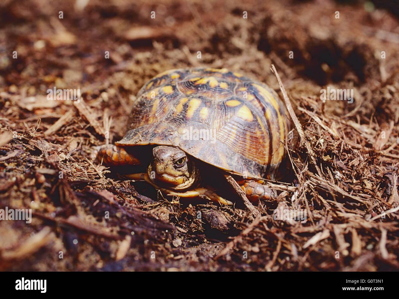 Female box turtle digging nest; laying eggs; SE Pennsylvania; USA - Stock Image