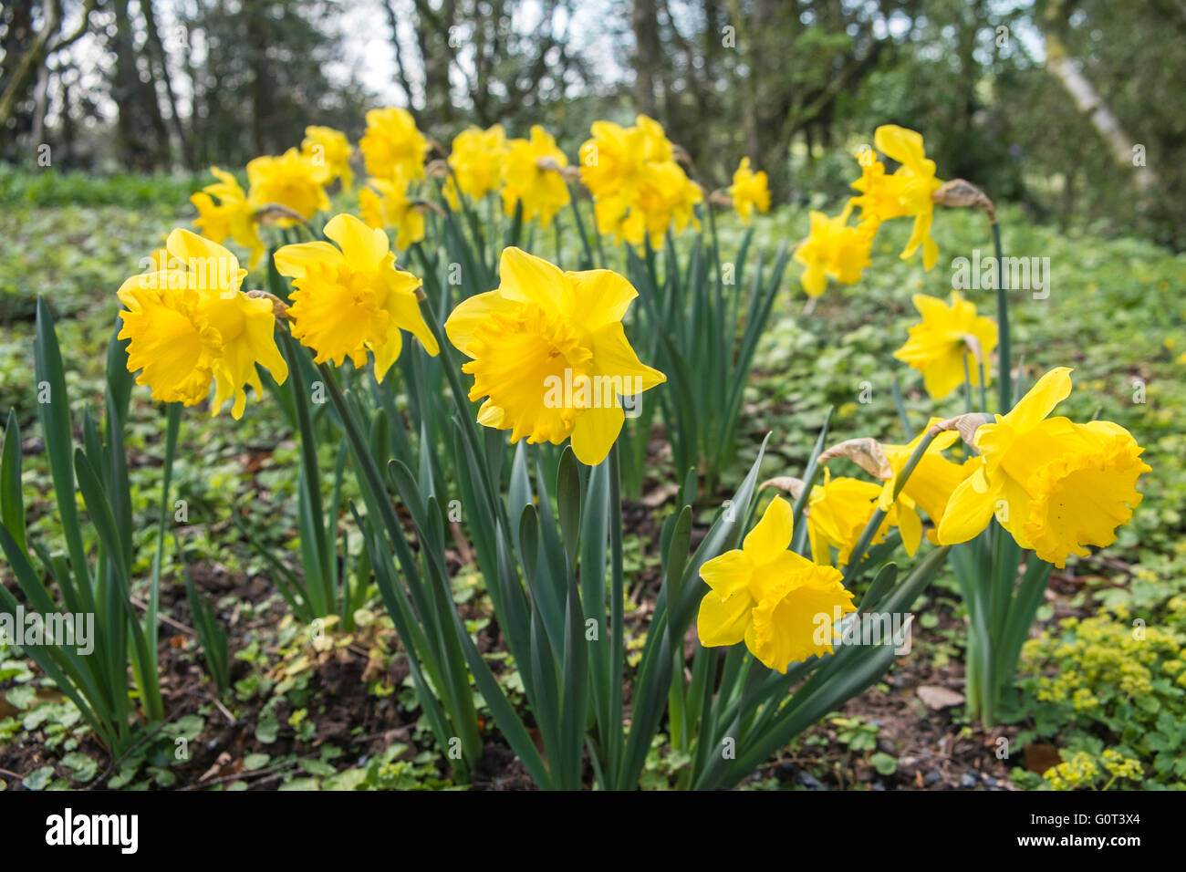 Daffodils Still In Bloom In May Very Late In Season Blooming Stock