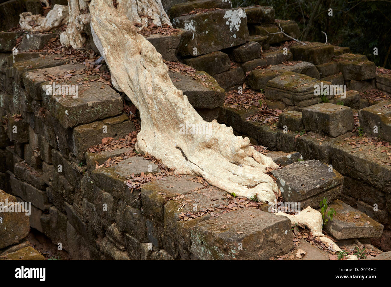Tree root on ruins of ancient Spean Thmor bridge, Angkor World Heritage Site, Siem Reap, Cambodia - Stock Image