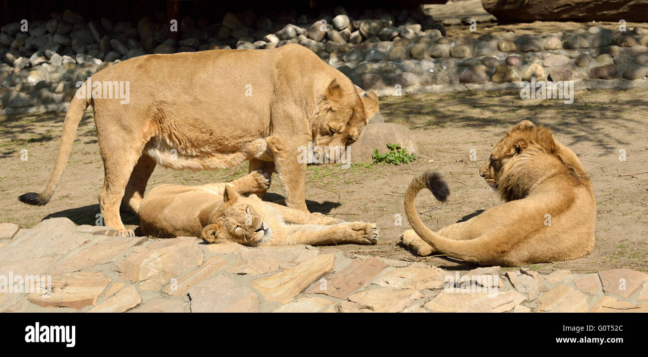 Family of lions. Lioness with two older cubs - Stock Image