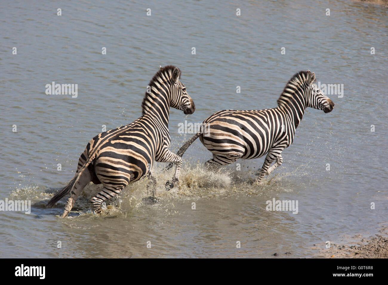 Zebras Running Through Water Burchell's Zebras Runn...