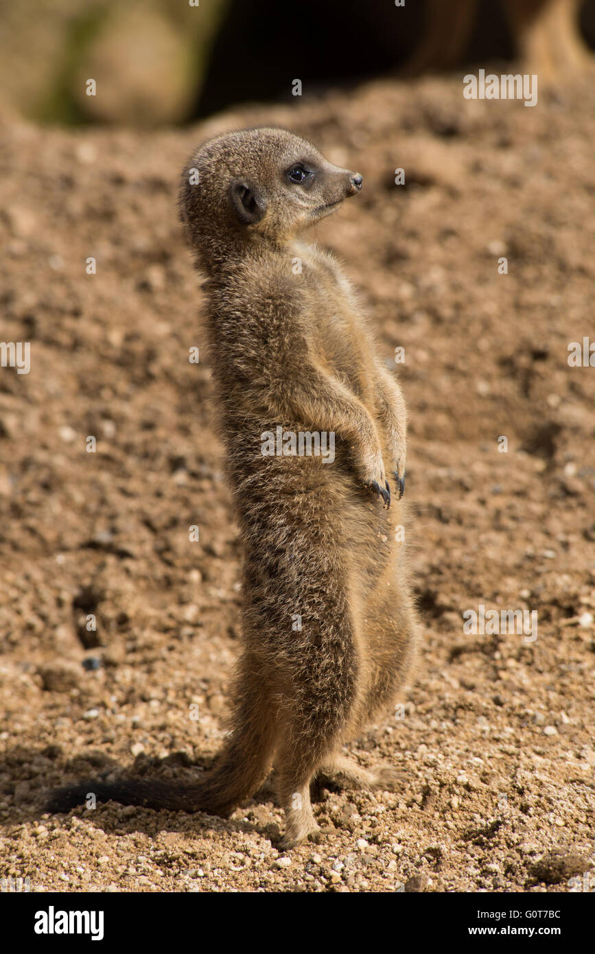 Meerkat watching out - Stock Image
