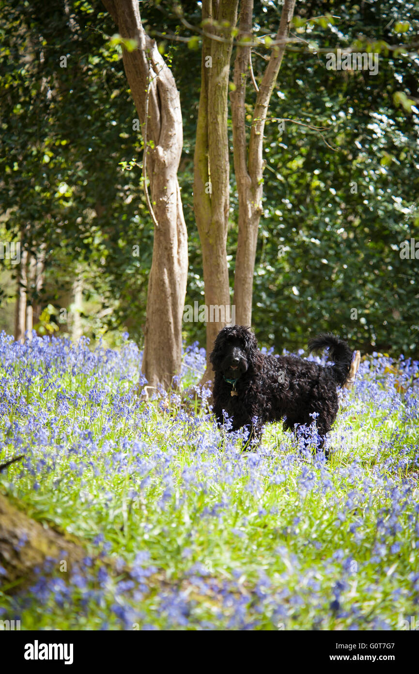 A young black Cockapoo dog on a walk in the woods on a sunny day. - Stock Image