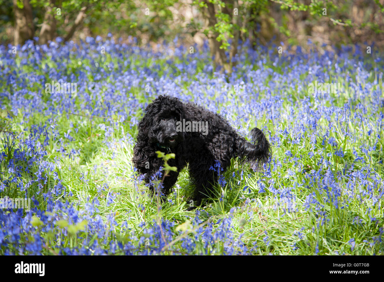 A young black Cockapoo dog on a walk in the woods on a sunny day. Stock Photo