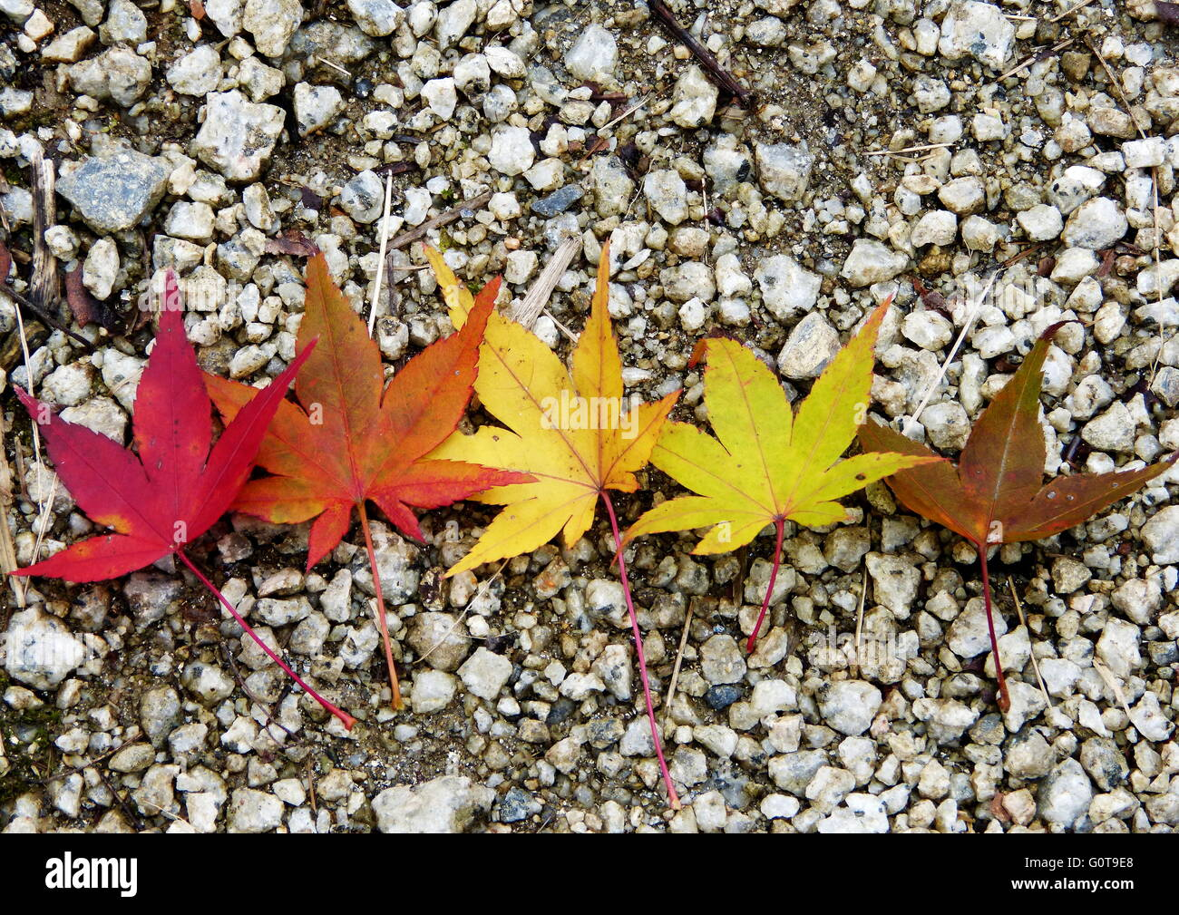autumn maple leaves at different stages of color changing stock