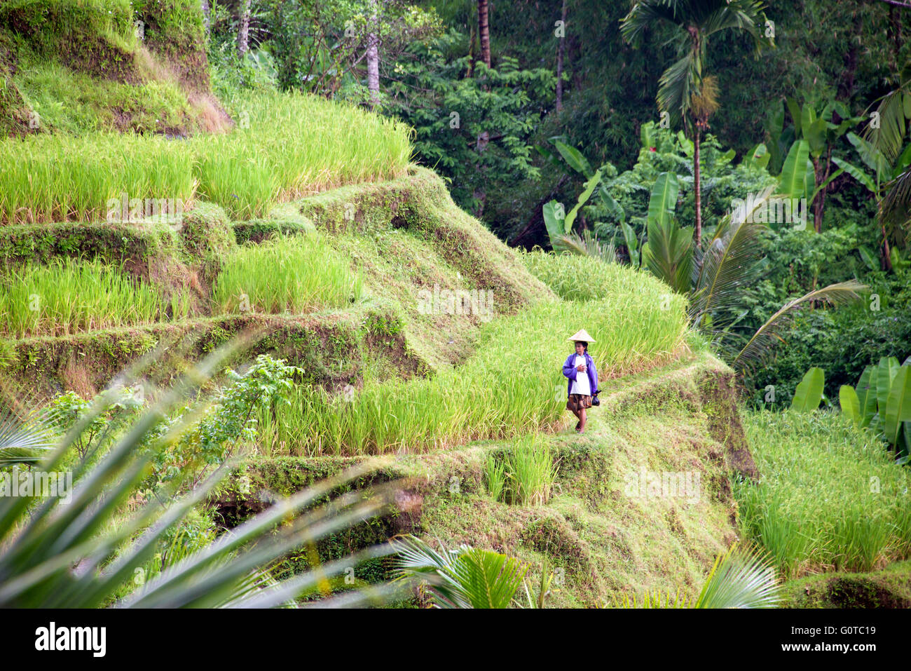 Balinese woman wearing conical hat Tegallalang rice terraces Ubud Bali Indonesia - Stock Image