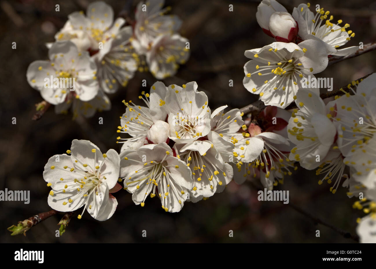 Apricot twig with blooming flowers - Stock Image