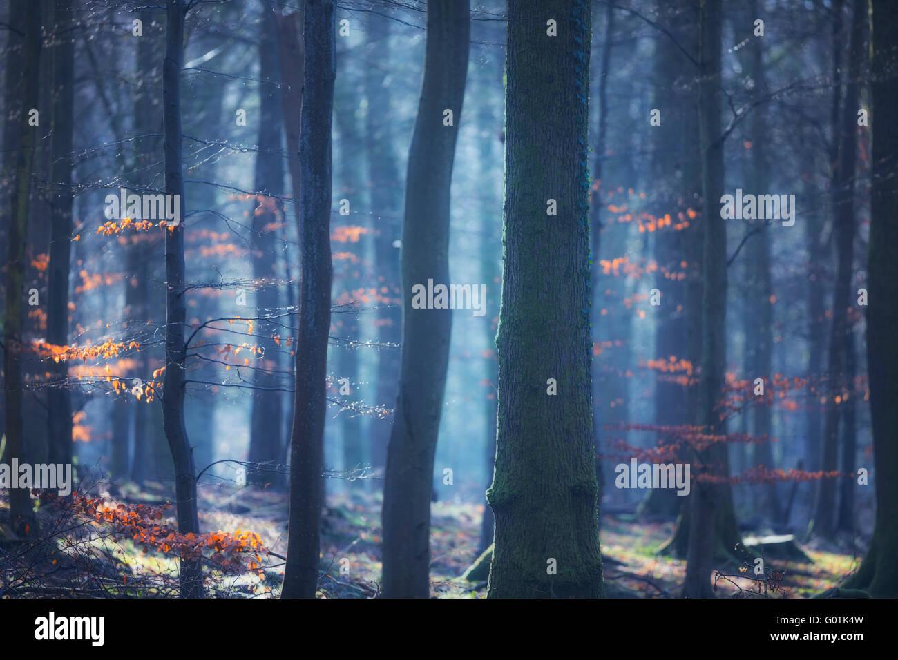 Atmospheric woodland, Forest of Dean, Gloucestershire, England, UK Stock Photo