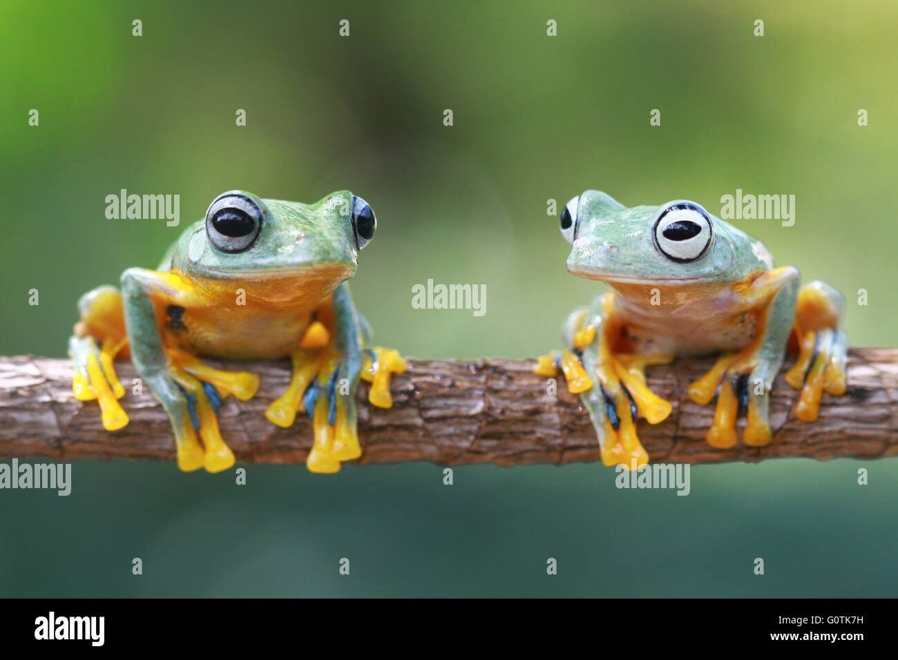 Two Javan Gliding tree frogs on a branch, Indonesia - Stock Image