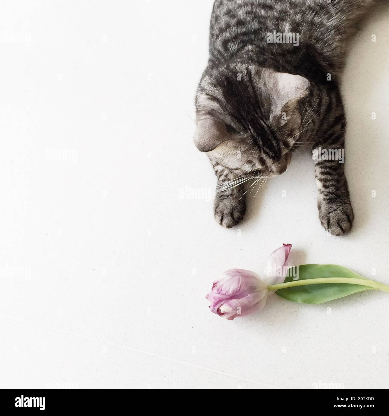 Overhead view of an american shorthair cat and a tulip flower Stock Photo