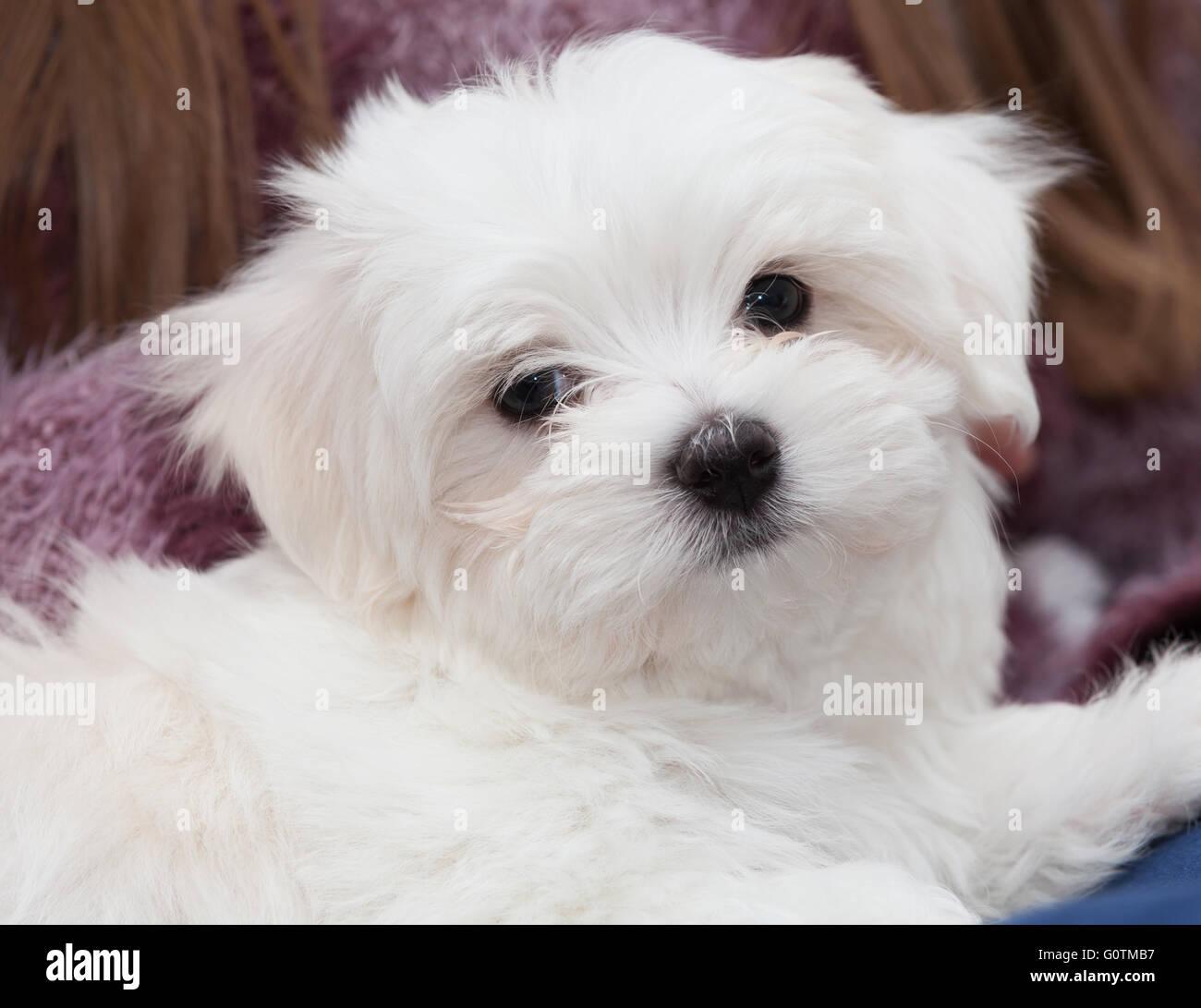 cute white fluffy maltese puppy stock photo 103805051 alamy