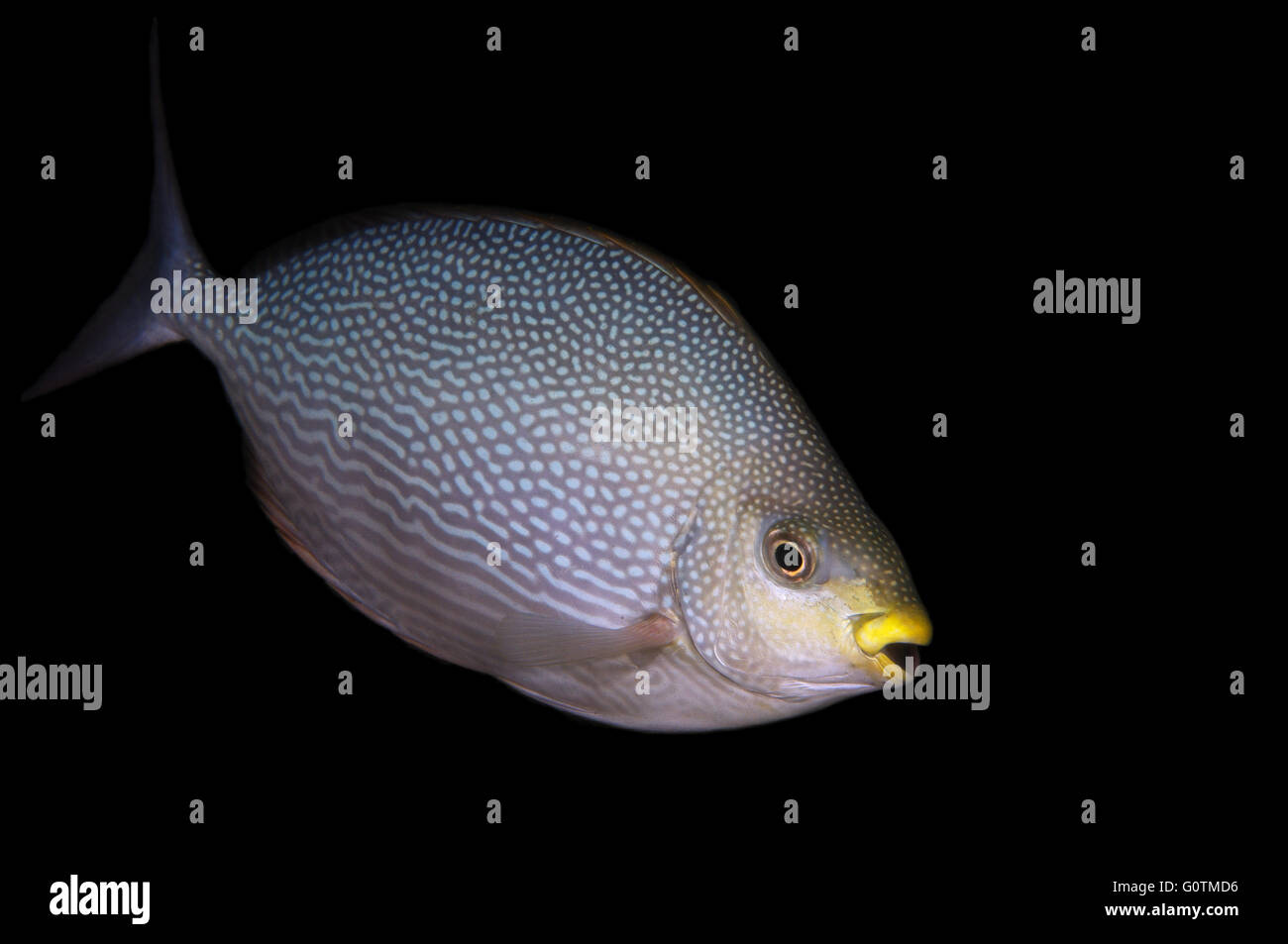 Streaked spinefoot, streaked spinefoot or Java rabbitfish