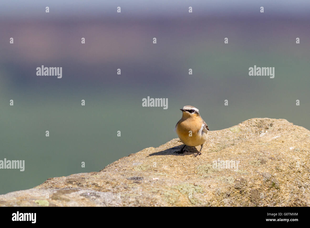 Wheatears, summer visitors to the UK, have returned to the uplands. Yorkshire, UK - Stock Image