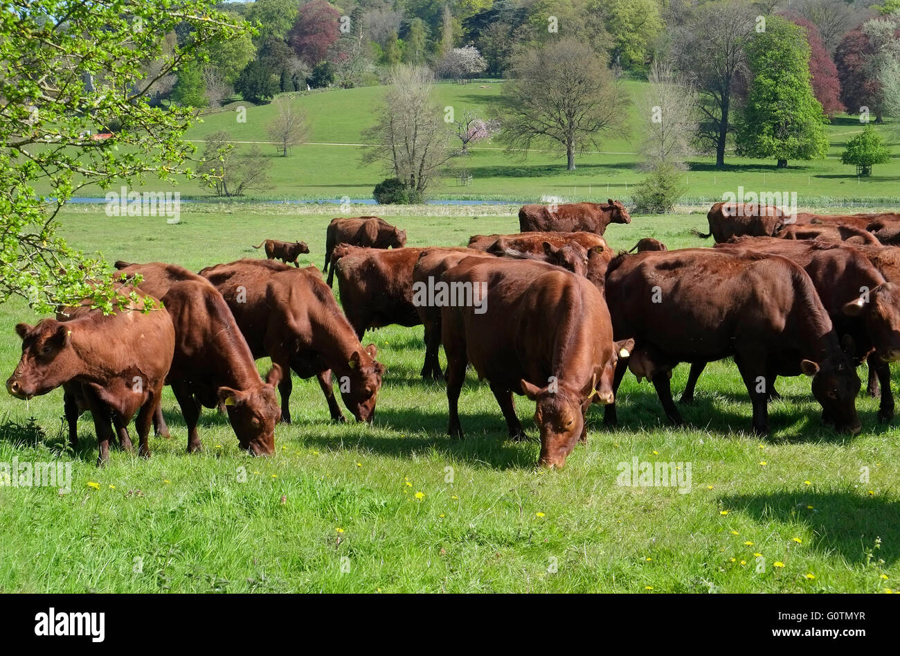 red poll dairy cattle on the bayfield hall estate, north norfolk, england - Stock Image