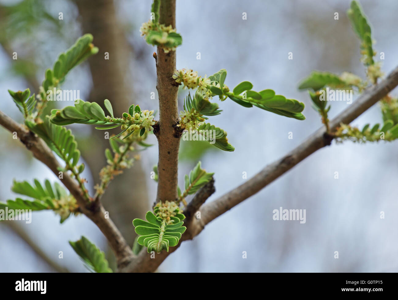 Flowering Indian gooseberry, Phyllanthus emblica, plant. Also called amla in India - Stock Image