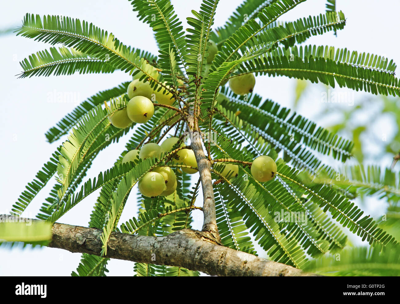 Indian gooseberry, Phyllanthus emblica. Also called amla. An essential part of  traditional Indian Ayurvedic, herbal, - Stock Image