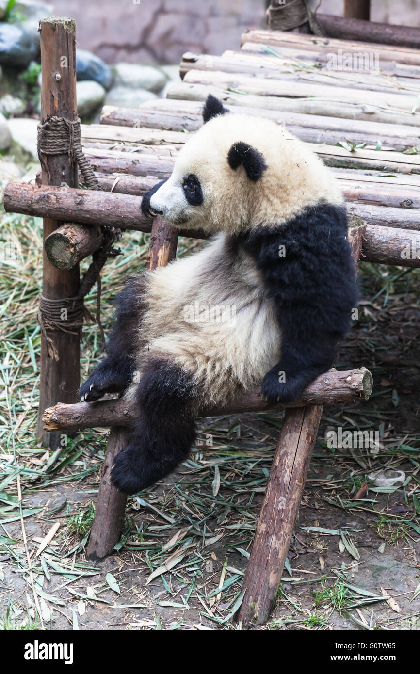 A sitting panda in Chengdu research base of giant panda breeding - Stock Image