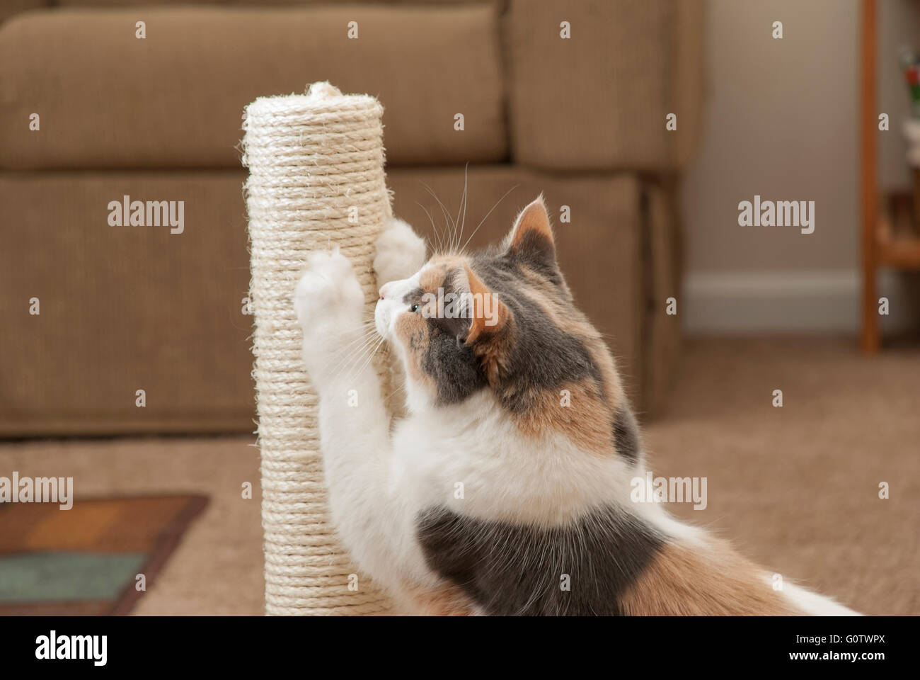 An adult domesticated cat using a scratching post. - Stock Image