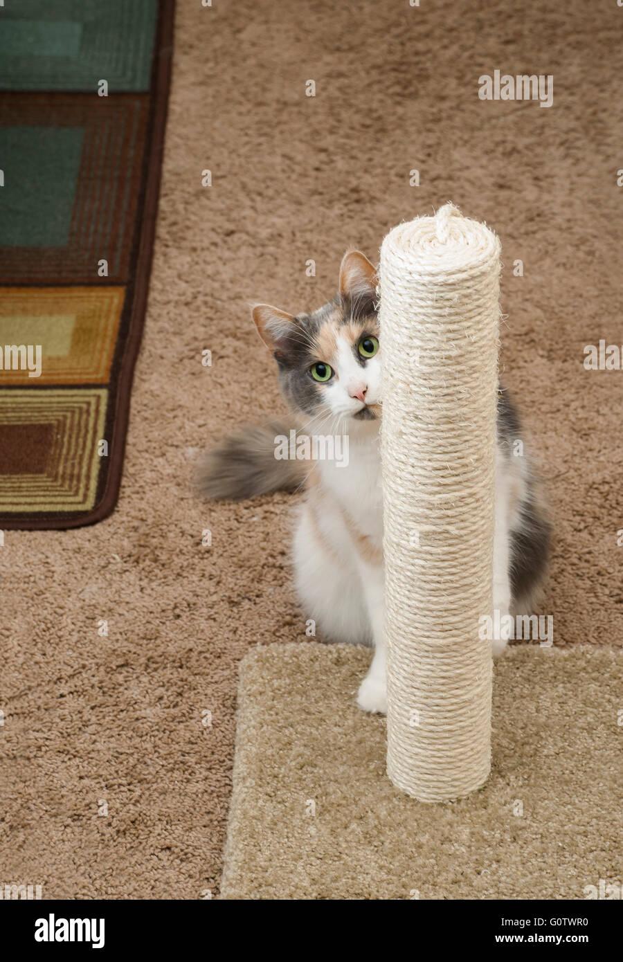 An adult domesticated cat peeking around a scratching post. - Stock Image