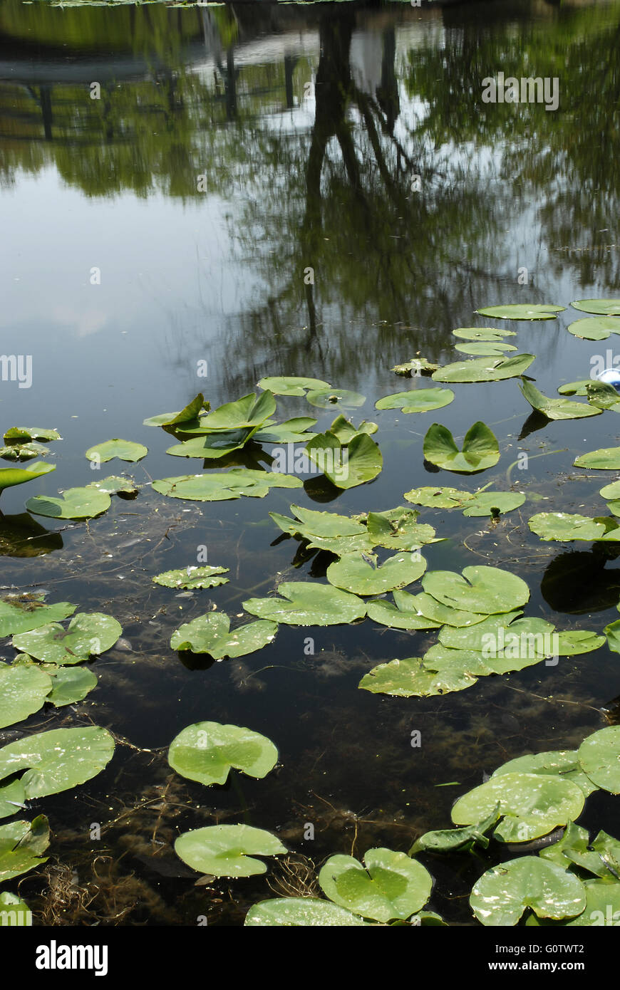 Lily pads on a lake with a reflection of a tree and bridge. Taken in Cox Arboretum in Dayton, Ohio. - Stock Image