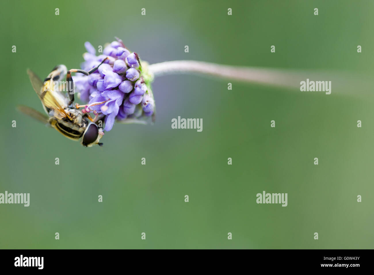 Hover fly Helophilus pendulus - Stock Image
