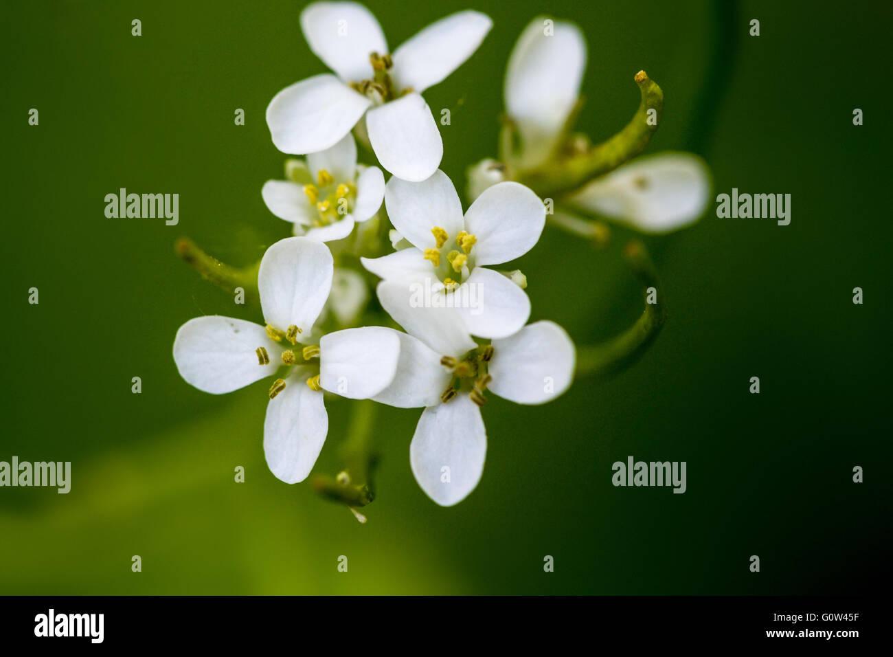 White Garlic Mustard Alliaria petiolata flowers in bunch Stock Photo