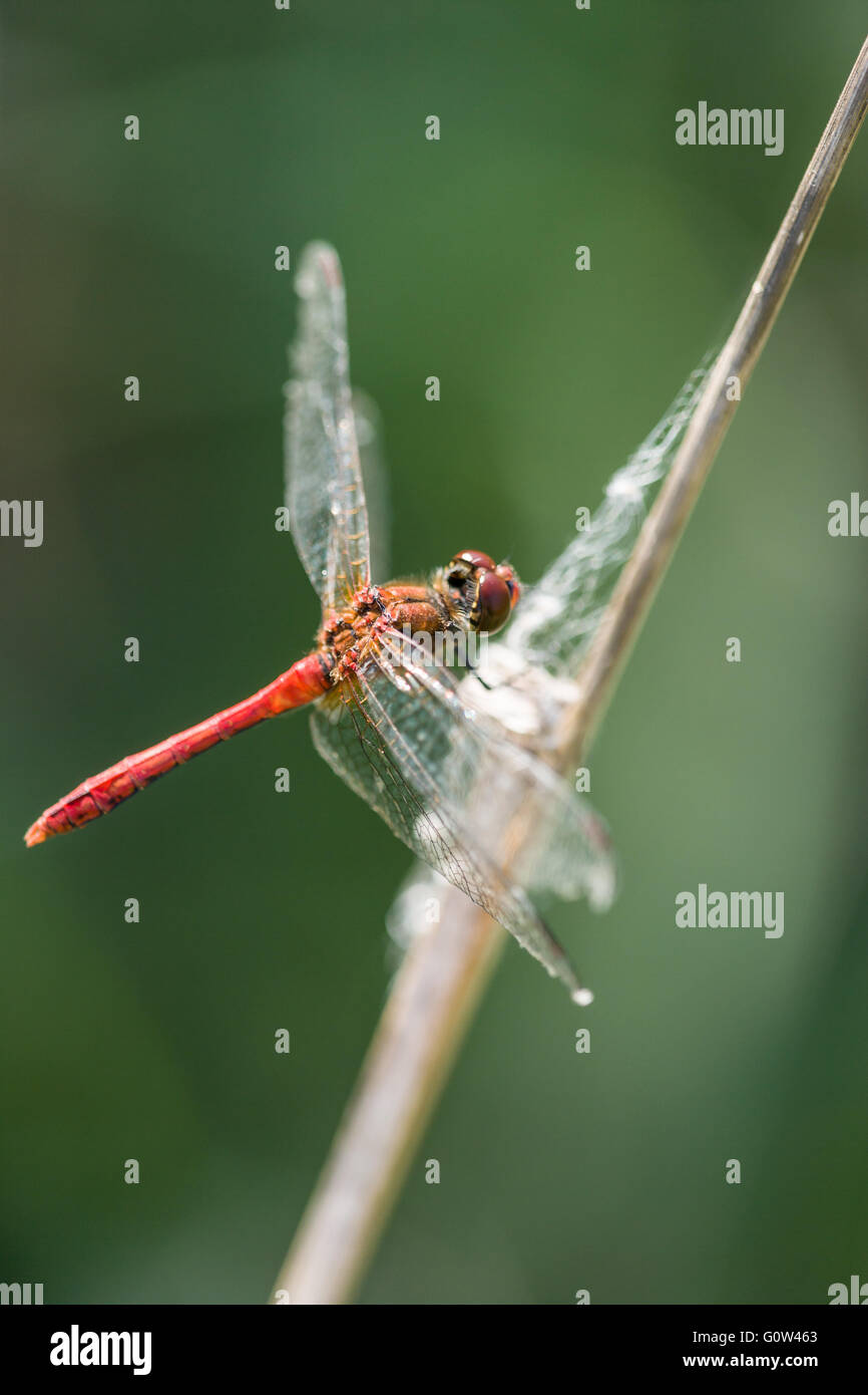 Male Ruddy Darter dragonfly Sympetrum sanguineum Stock Photo