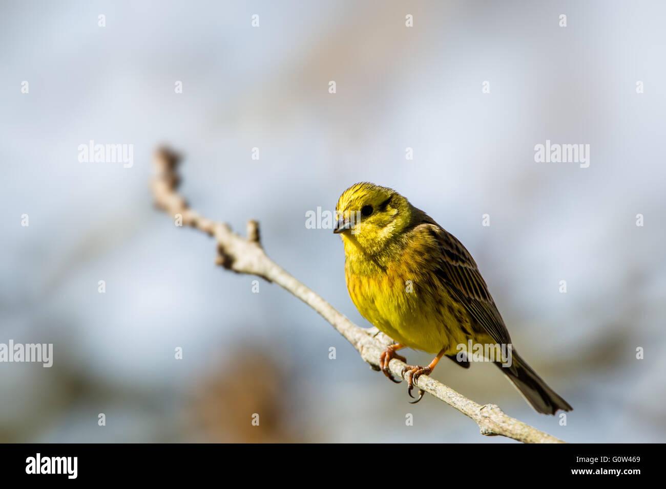 Male Yellowhammer Emberiza citrinella - Stock Image