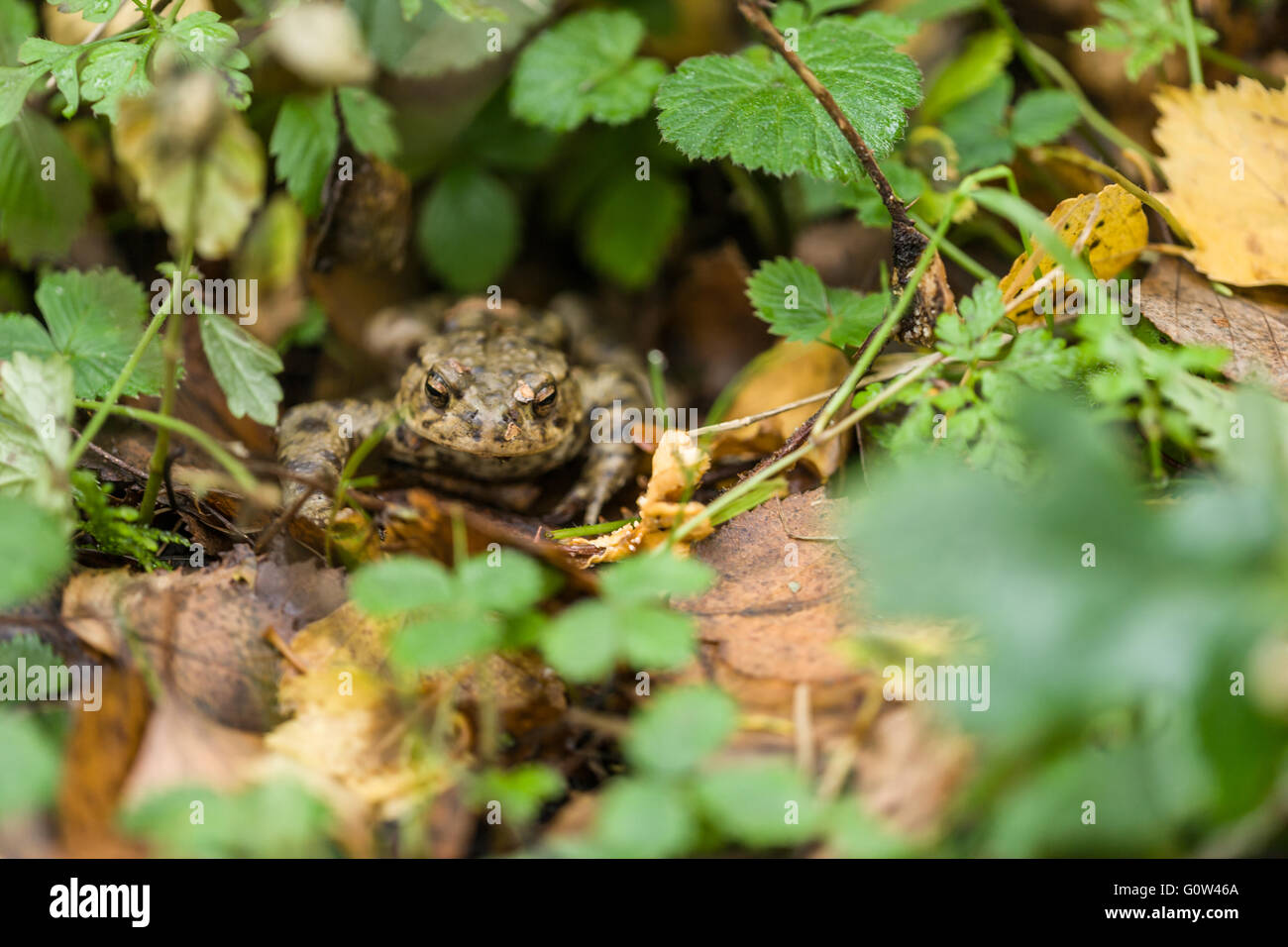 Common frog Rana temporaria in leaf litter - Stock Image