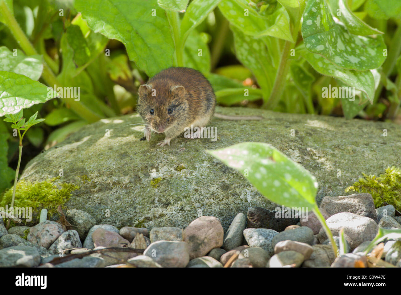 Bank Vole Clethrionomys glareolus standing on a rock sheltering under plants - Stock Image