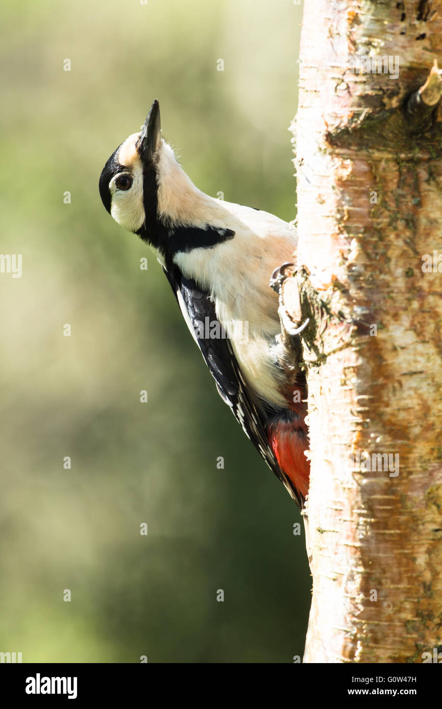 Great Spotted Woodpecker, Dendrocopos major on birch tree - Stock Image