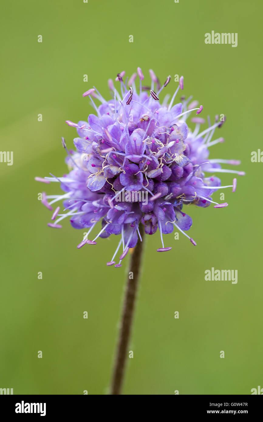 Devils bit scabious Succisa pratensis flower. - Stock Image