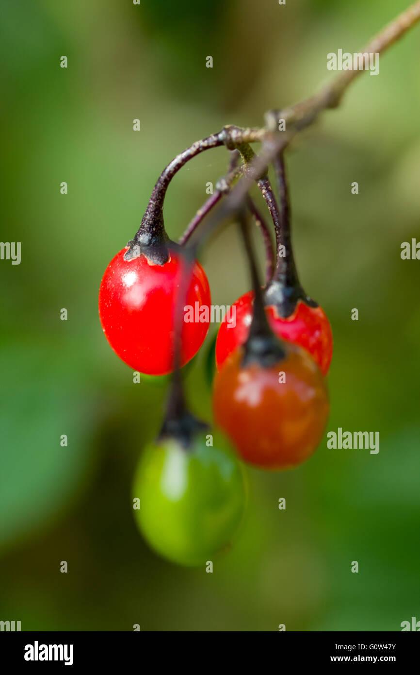 Bittersweet Solanum dulcamara fruits or berries - Stock Image
