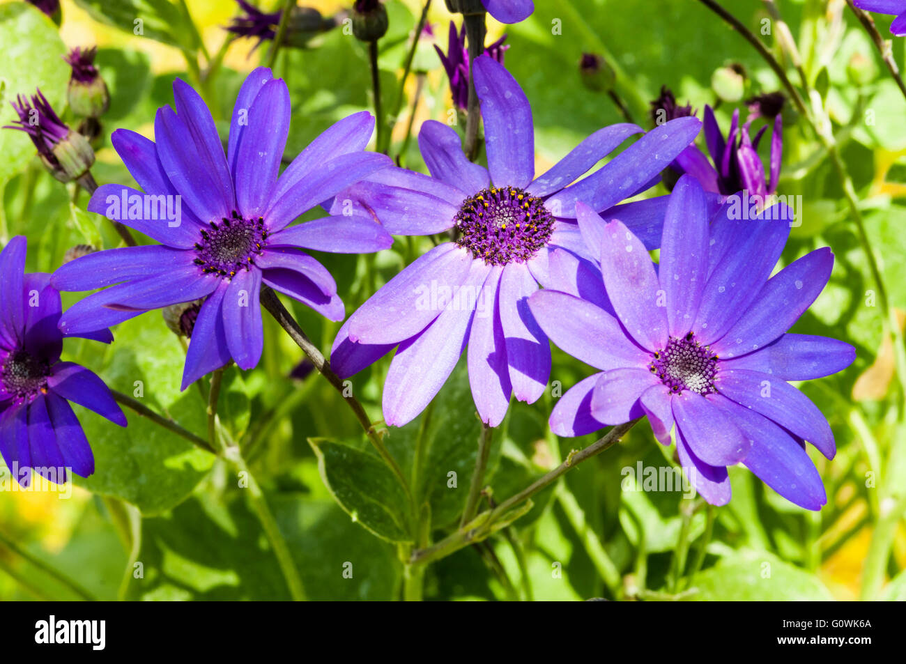 Pericallis x hybrida Senetti Deep Blue var Sunsenedibua - Stock Image