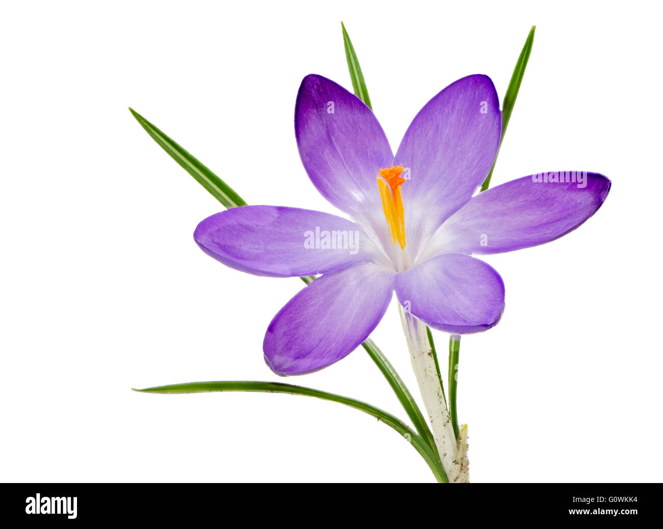 Macro of an isolated purple crocus flower blossom Stock Photo