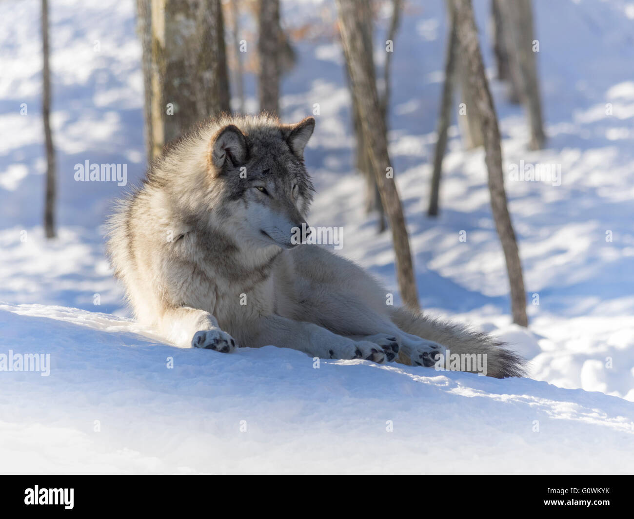 Wolf in the winter woods - Stock Image