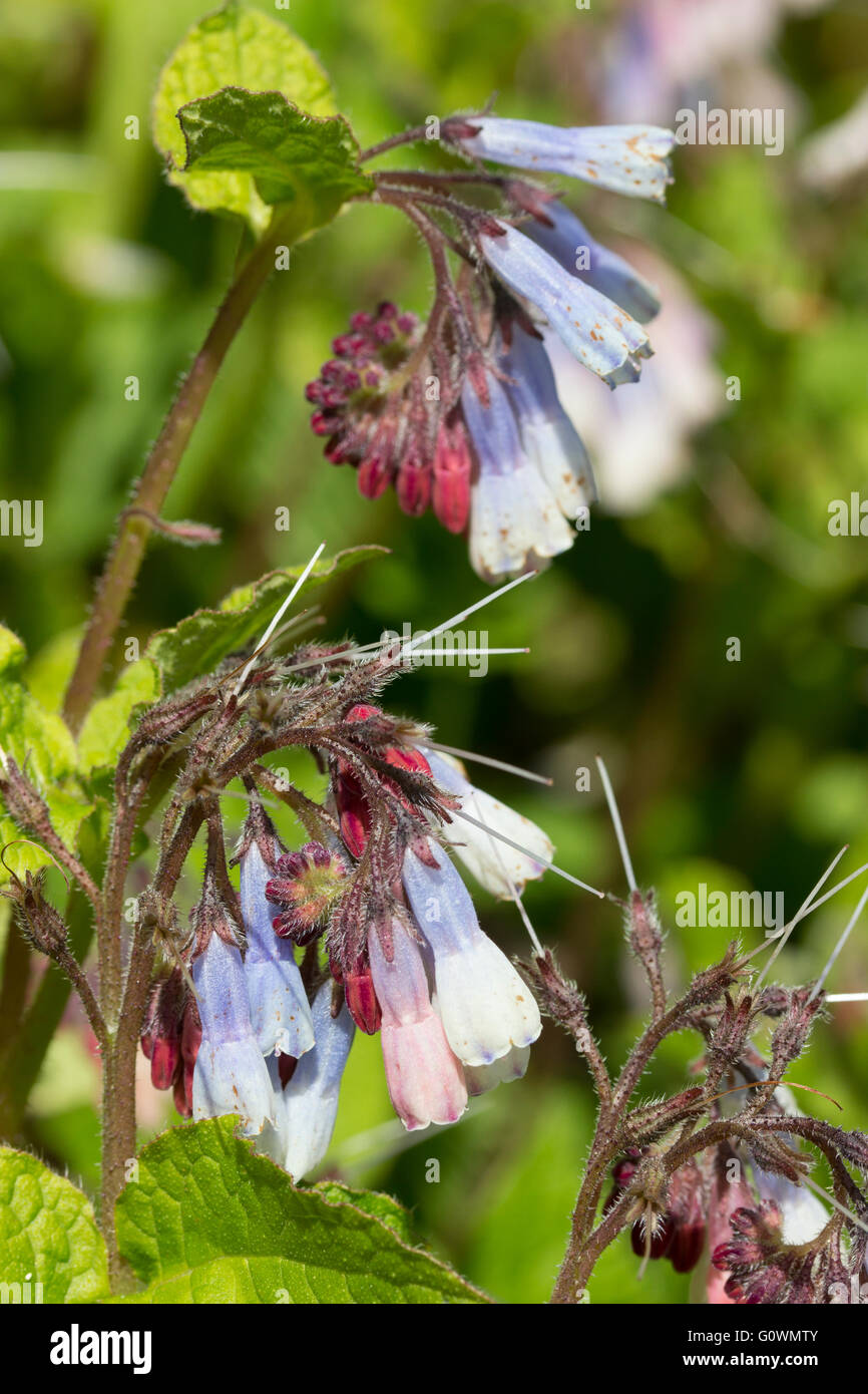 Dangling blue and white spring flowers of the ground covering perennial Symphytum 'Hidcote Blue' open from - Stock Image
