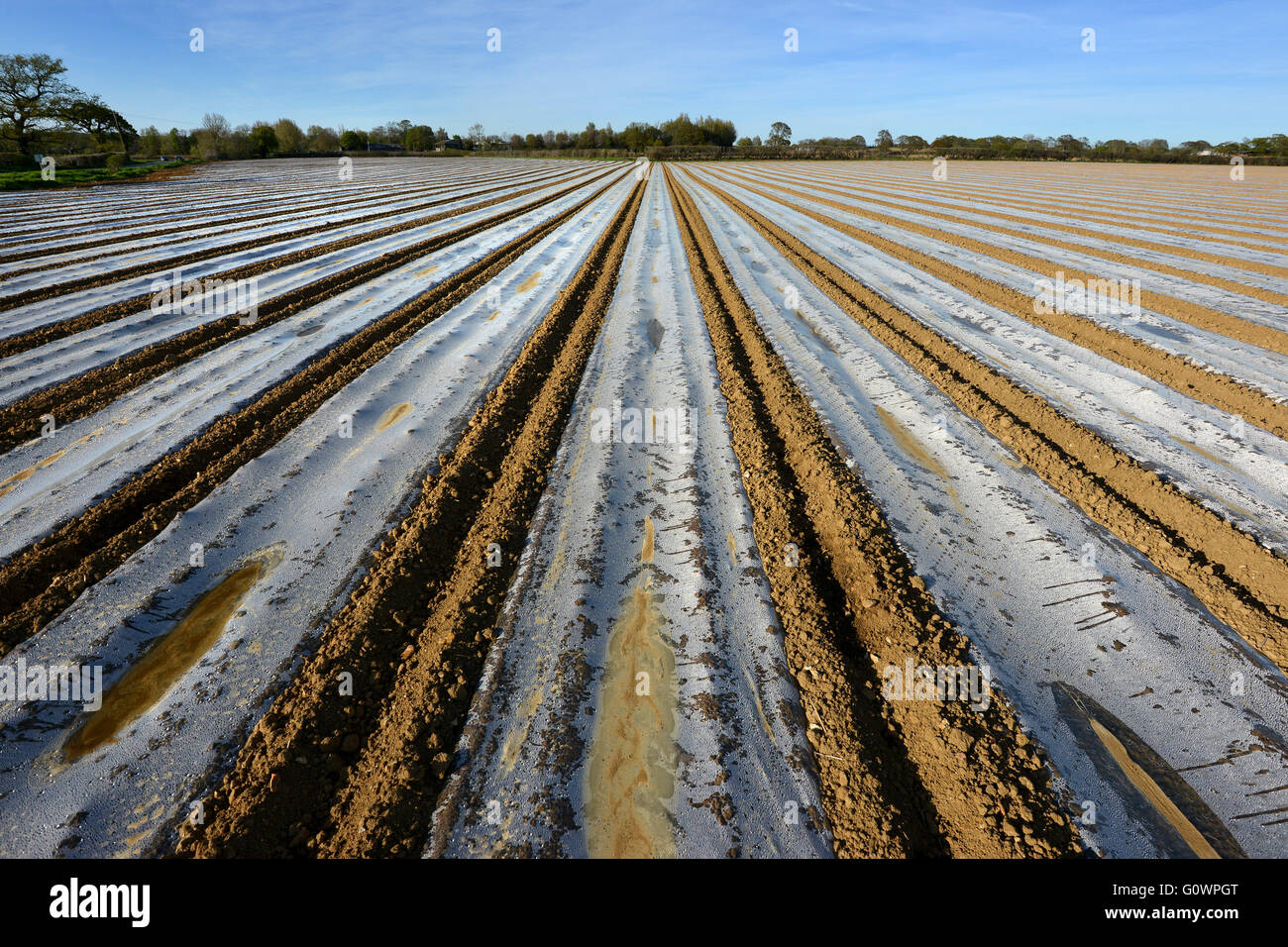 Plastic sheeting on maize field, East Sussex - Stock Image