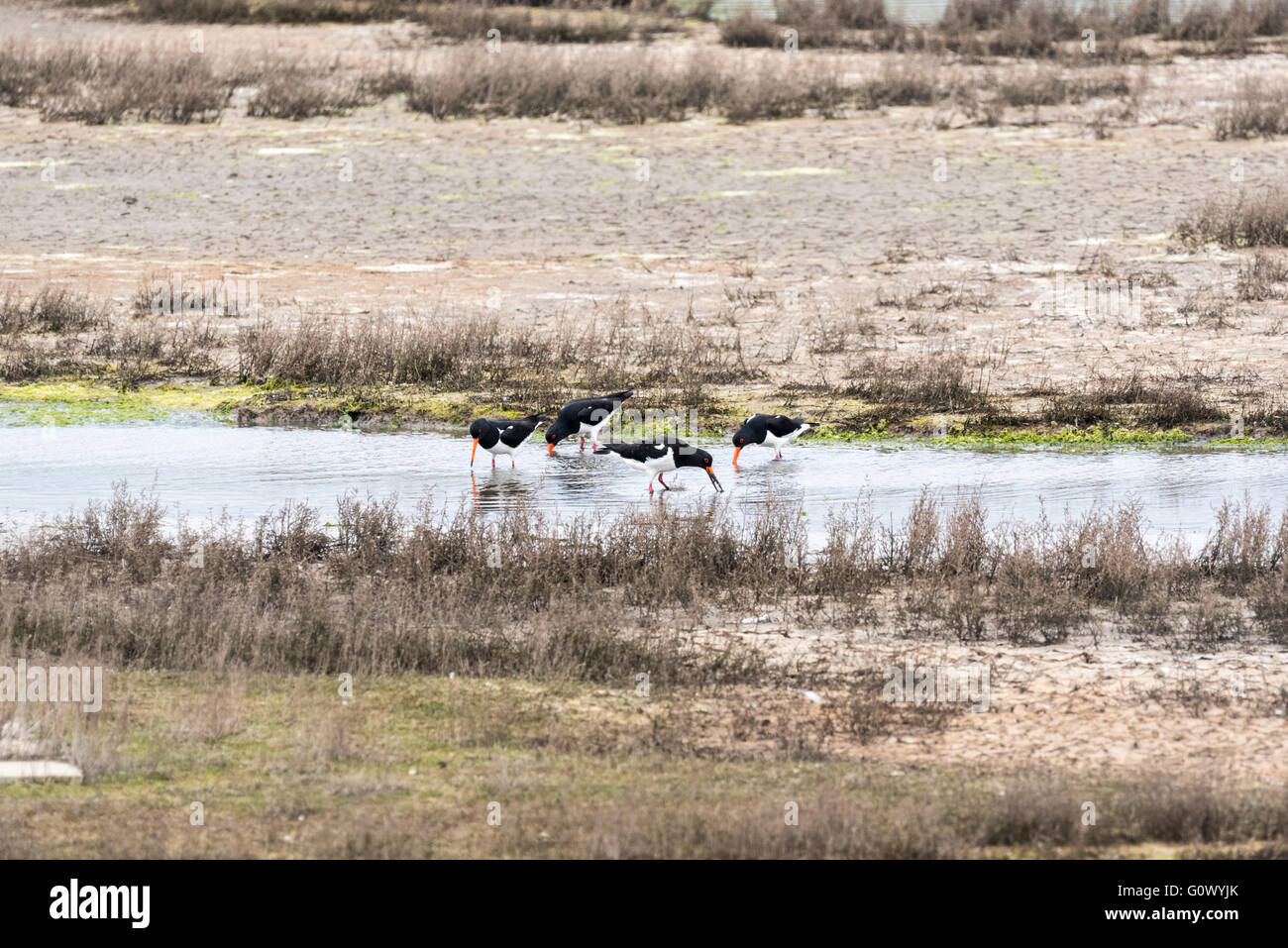 Two pairs of Oystercatchers that were making a lot of noise whilst feeding on the saltmarsh - piping and it is territorial - Stock Image