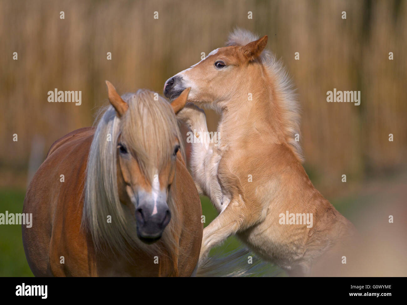 Haflinger mare and foal playing in meadow - Stock Image