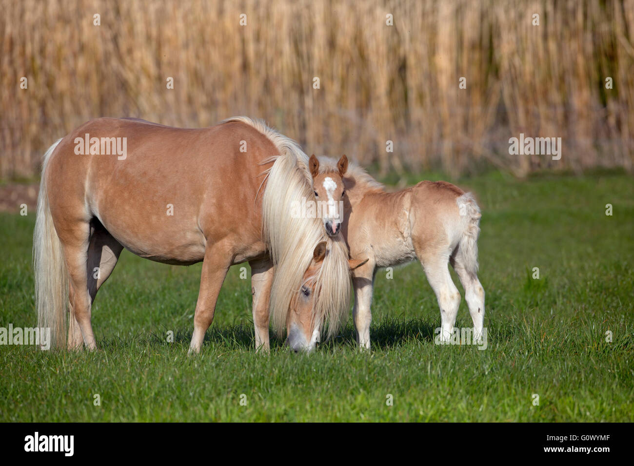 Haflinger mare and foal  in meadow - Stock Image