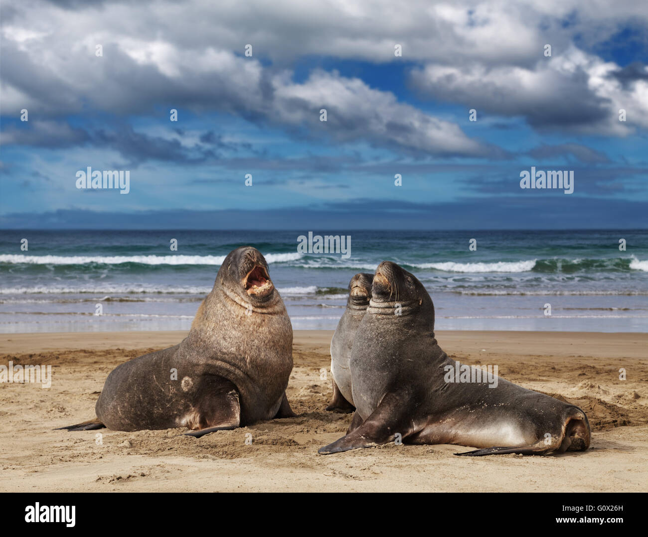 Sea lions on the beach, Cannibal Bay, New Zealand - Stock Image