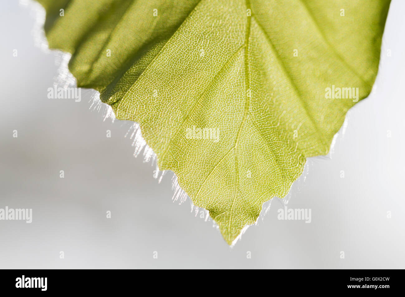 Macro image of an Ash tree leaf tip showing leaf structure with hairs and venation. - Stock Image