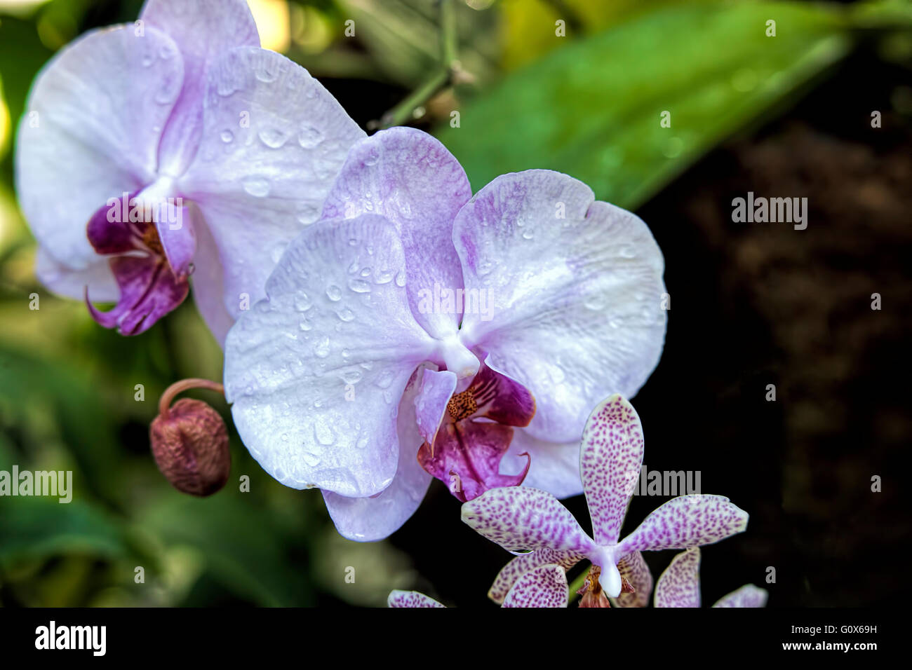 Beautiful Orchid Flowers Water Drops Stock Photos Beautiful Orchid
