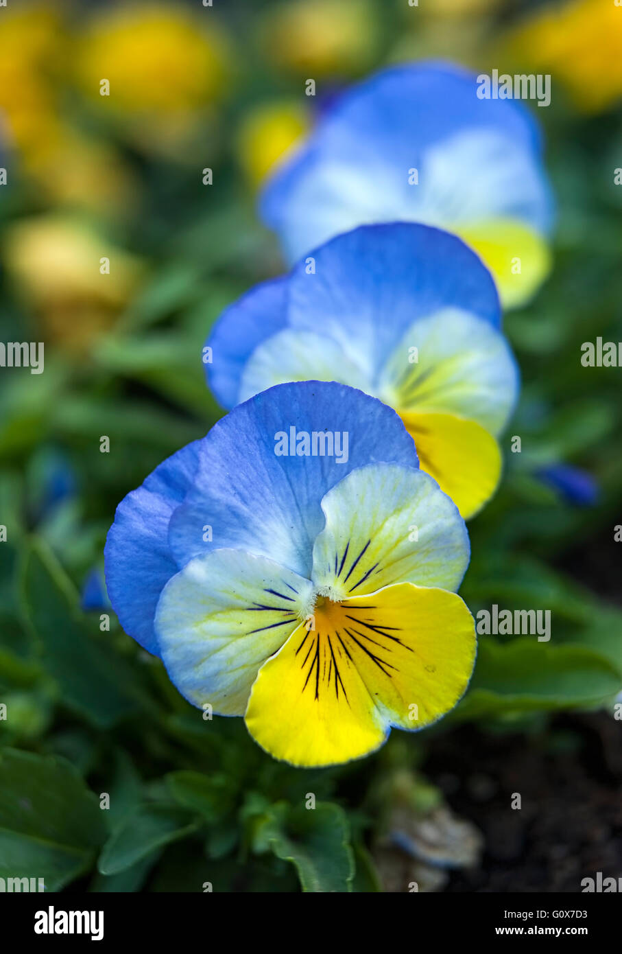 Blue And Yellow Pansies Stock Photos Blue And Yellow Pansies Stock