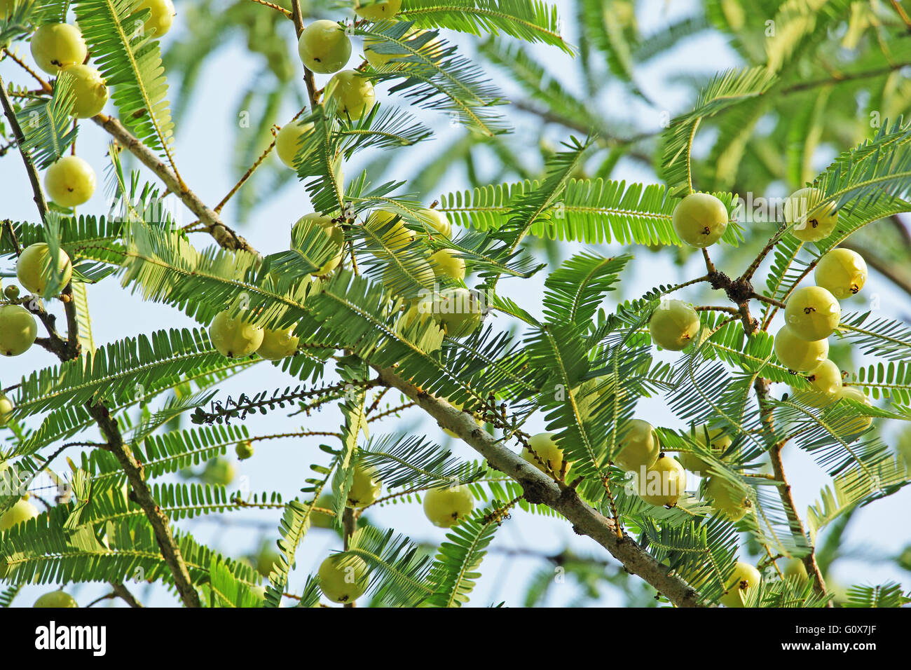 Ripening Indian gooseberry, Phyllanthus emblica, seeds in plant. Essential part of Indian ayurvedic medicines - Stock Image
