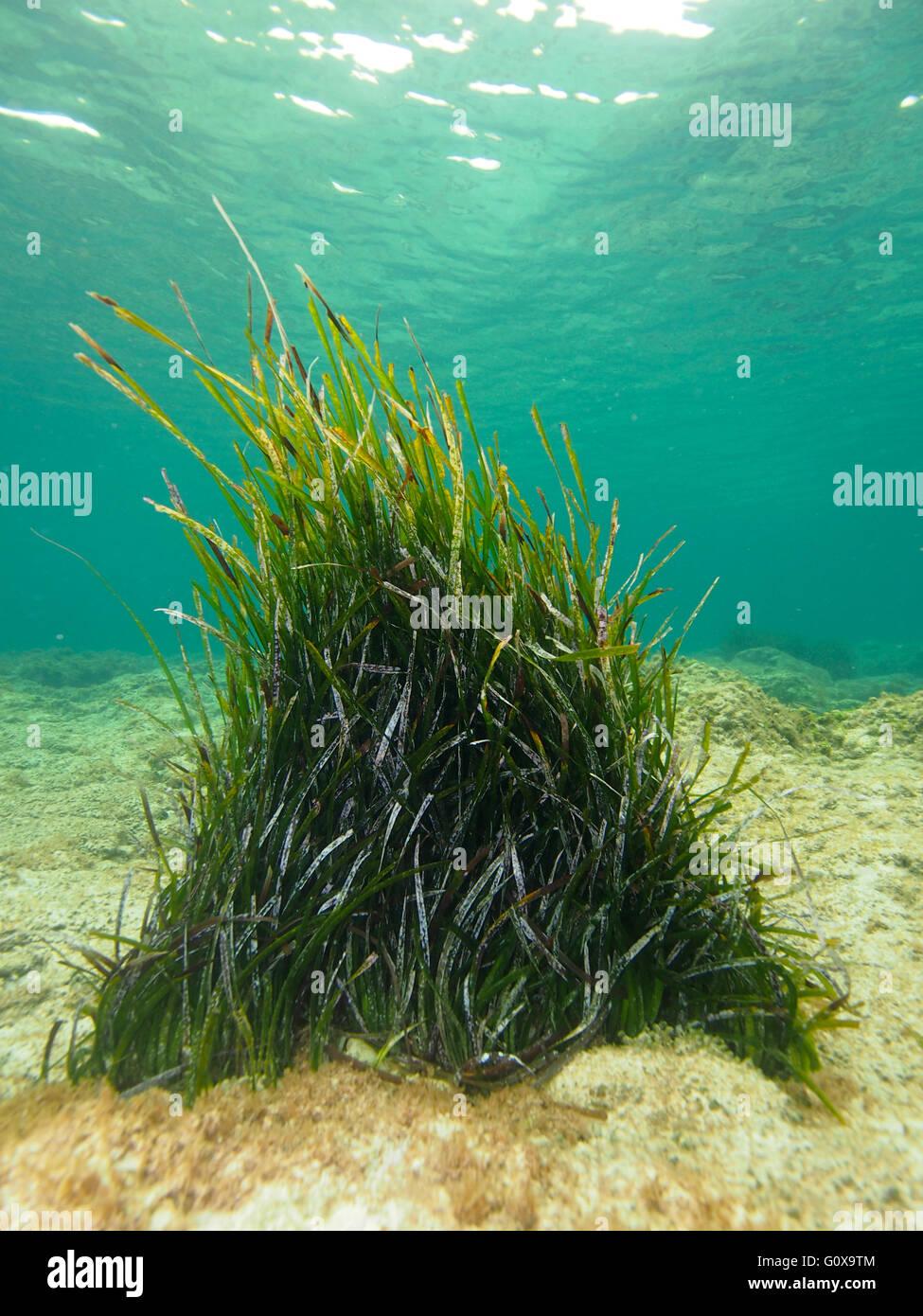 Seagrass underwater in Cyprus,Mediterranean Sea - Stock Image