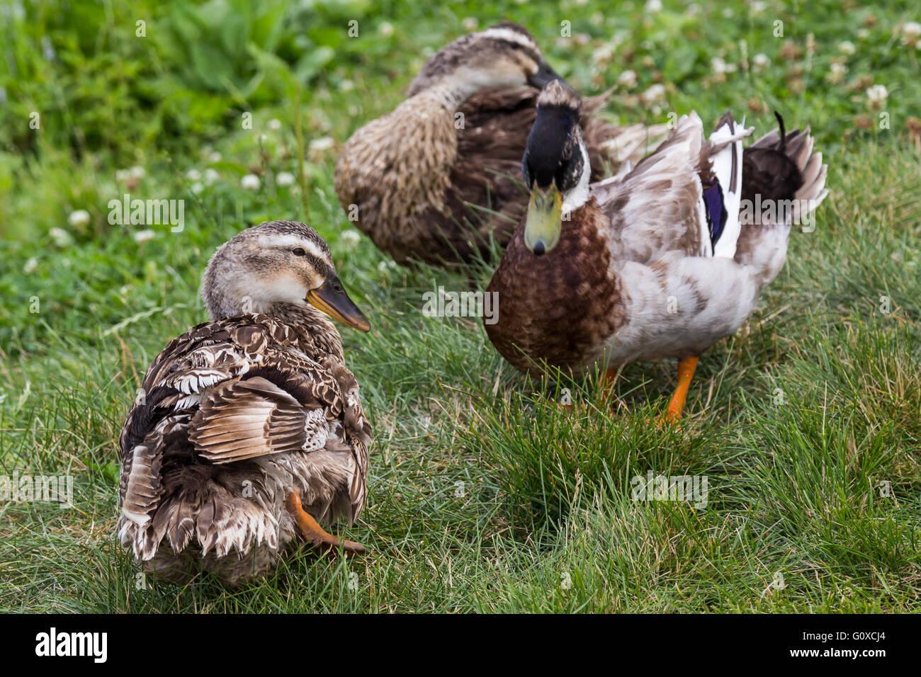 Ducks in Khabarovsk Russia - Stock Image