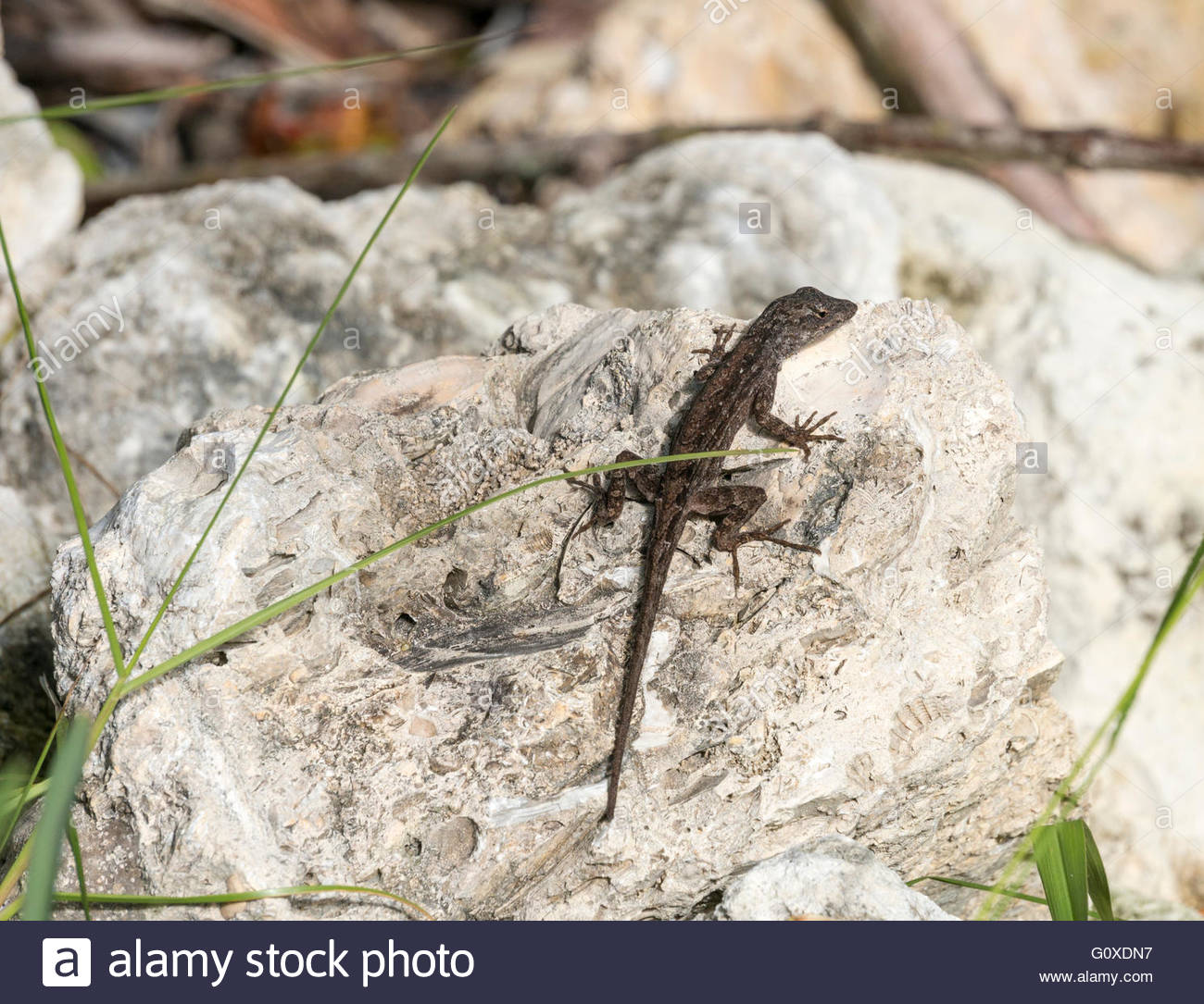 A Brown Anole pauses on a rock at Ding Darling National Wildlife Refuge in Sanibel, Florida - Stock Image